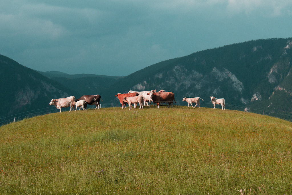 Stella Butz Photography Cows Behind